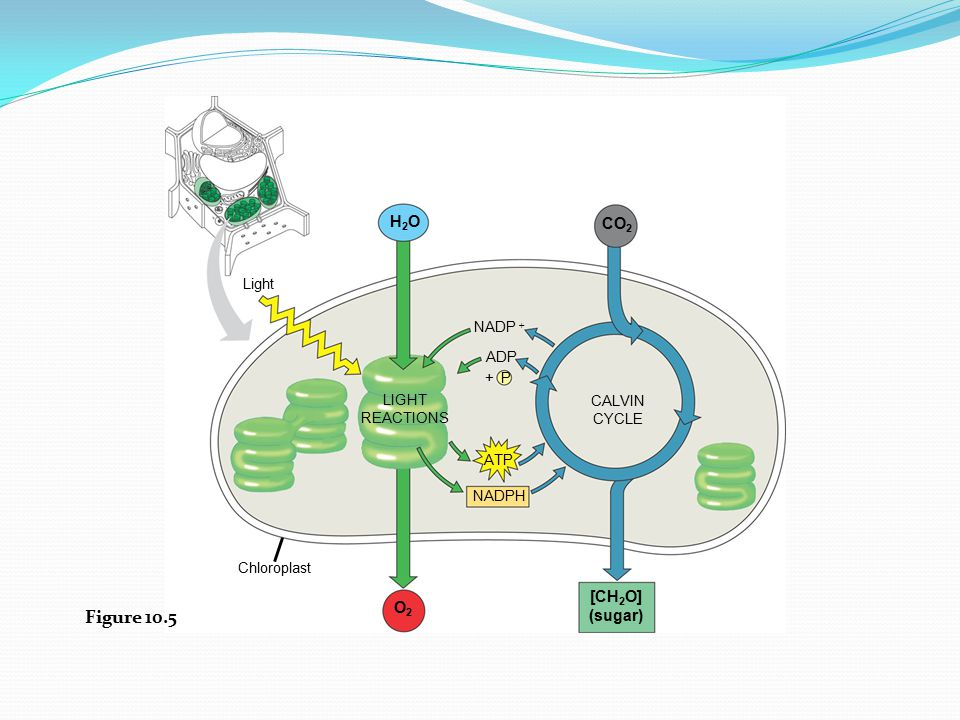 Figure 10.5 H2O CO2 [CH2O] O2 (sugar) Light LIGHT REACTIONS CALVIN